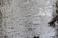 Natürlicher Hintergrund der Birkenrinde mit natürlicher Birkenbeschaffenheit lizenzfreie stockfotos