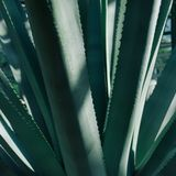 Natürlicher Hintergrund der Kaktuspflanze Stockfotografie