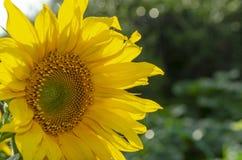 Natürlicher Hintergrund der Sonnenblume, die blühende Sonnenblume, Sonnenblumenöl verbessert Hautgesundheit und fördert Zellregen stockbild