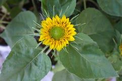Natürlicher Hintergrund der Sonnenblume, Sonnenblumenblühen Lizenzfreies Stockbild