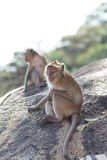 Natürlicher Hintergrund des Affen Lizenzfreies Stockfoto