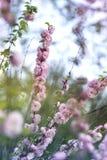 Natürlicher Hintergrund des Frühlinges mit rosa blühender Frühlingsblüte, GR stockfotografie
