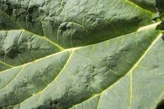 Natürlicher Hintergrund des Rhabarberblattgrüns stockbilder