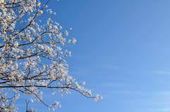 Natürlicher Hintergrund des Winters - schneebedeckte Wipfel gegen den klaren blauen Himmel Stockfotos