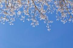 Natürlicher Hintergrund des Winters - Wipfel des verschneiten Winters gegen den klaren blauen Himmel Lizenzfreie Stockbilder