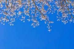 Natürlicher Hintergrund des Winters - Wipfel des verschneiten Winters gegen den klaren blauen Himmel Stockbilder