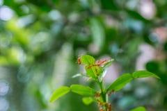 Natürlicher Hintergrund Grünhintergrund von den Natur Grünblättern des Gemüses von meiner orange Ameise des Hinterhofes auf grüne stockfoto