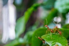 Natürlicher Hintergrund Grünhintergrund von den Natur Grünblättern des Gemüses von meiner orange Ameise des Hinterhofes auf grüne Lizenzfreie Stockfotos