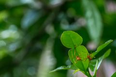 Natürlicher Hintergrund Grünhintergrund von den Natur Grünblättern des Gemüses von meiner orange Ameise des Hinterhofes auf grüne Lizenzfreies Stockfoto