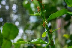 Natürlicher Hintergrund Grünhintergrund von den Natur Grünblättern des Gemüses von meiner orange Ameise des Hinterhofes auf grüne lizenzfreie stockfotografie