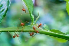 Natürlicher Hintergrund Grünhintergrund von den Natur Grünblättern des Gemüses von meiner orange Ameise des Hinterhofes auf grüne stockbild