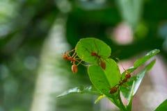 Natürlicher Hintergrund Grünhintergrund von den Natur Grünblättern des Gemüses von meiner orange Ameise des Hinterhofes auf grüne Stockbilder