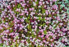 Natürlicher Hintergrund vieler Blätter und rosa Stämme von sedum, von grünem Moos und von vielen Tautropfen lizenzfreie stockfotos