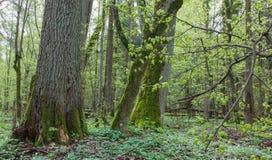Natürlicher Laubwald am Frühjahr Lizenzfreie Stockfotografie