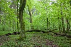 Natürlicher laubwechselnder Wald am Frühling Lizenzfreies Stockfoto