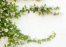 Natürlicher Rahmen des Jasmins blüht auf weißer Wand stockbilder