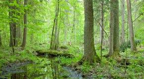 Natürlicher swampy Wald am Frühjahr Stockfoto