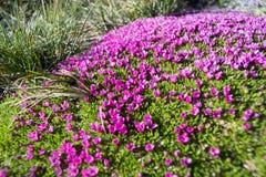 Natürlicher Teppich von kleinen alpinen purpurroten Blumen Lizenzfreie Stockfotografie