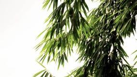 Natürliches Bambusblatt stock video footage