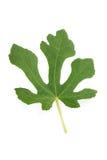 Natürliches Blatt des Feigenbaums lokalisiert auf Weiß Lizenzfreies Stockfoto