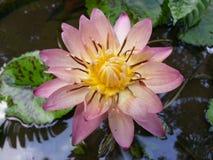 Natürliches dunkles Mischungsrosa-Farbewasser Lily Flower von Sri Lanka Lizenzfreie Stockfotografie