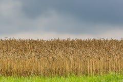 Natürliches Feld des goldenen Weizens mit bewölktem Himmel und Wolken Lizenzfreies Stockfoto