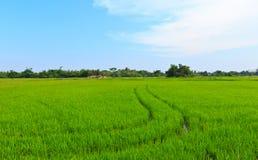 Natürliches Feld des Reises. Lizenzfreies Stockfoto