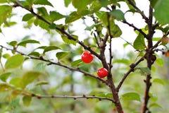 Natürliches Frühstück - roter-Deliciousbeeren auf den Niederlassungen lizenzfreie stockfotos