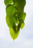 Natürliches grünes Blatt auf einem weißen Himmel-Hintergrund Lizenzfreie Stockfotografie