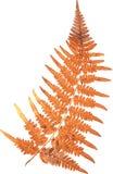 Natürliches Herbstfarnblatt auf Weiß Lizenzfreies Stockbild