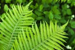 Natürliches Muster des frischen grünen Farns Stockfotografie