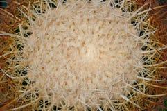Natürliches Muster von Dornenkaktuspflanzen Stockfotografie