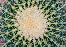 Natürliches Muster von Dornenkaktuspflanzen Stockfotos