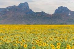 Natürliches Sonnenblumenfeld der vollen Blüte mit Gebirgshintergrund Stockbilder
