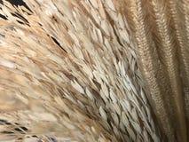 Natürliches trockenes hellbraunes Ohr des Reises, des Reissamens, des Kornweizens und der Getreideanlage stockfotos