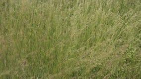 Natürliches Wiesenkrautfeld des grünen Grases im Wind stock footage