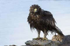Nat Geïnitialiseerd Eagle zit op de grond om na een bad voordien uit te drogen stock afbeeldingen
