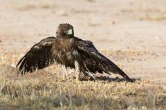 Nat Geïnitialiseerd Eagle zit op de grond om na een bad voordien uit te drogen Royalty-vrije Stock Afbeelding