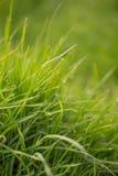 Nat gras Stock Afbeeldingen