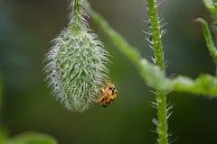 Nat Lieveheersbeestje op papaverstoom op tuin Stock Fotografie