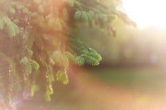 Nat?rlicher Hintergrund des sch?nen Fr?hlinges Flaumige Tannenzweige Makro in der Sonne Weicher Fokus stockfoto