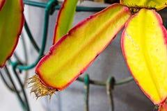 Nat rood en geel blad van Pasen-Cactus royalty-vrije stock foto's