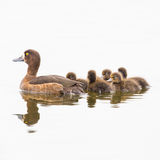Natação adornada fêmea do pato com prole Fotografia de Stock
