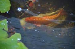 Natação alaranjada e branca dos peixes do koi em uma lagoa Imagens de Stock Royalty Free
