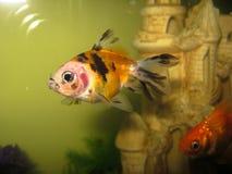 Natação amarela e vermelha do peixe dourado fotografia de stock royalty free