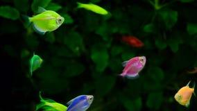 Natação amarela e vermelha do peixe dourado no aquário vídeos de arquivo