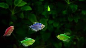 Natação amarela e vermelha do peixe dourado no aquário filme