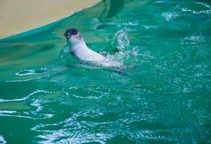Natação azul pequena do pinguim fotos de stock royalty free