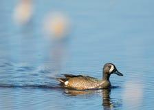 a natação Azul-voada da cerceta na lagoa do pantanal com cattails obscuros/cobre no primeiro plano - na área dos animais selvagen fotografia de stock