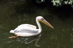 Natação bonita da cisne no jardim zoológico egípcio imagens de stock royalty free